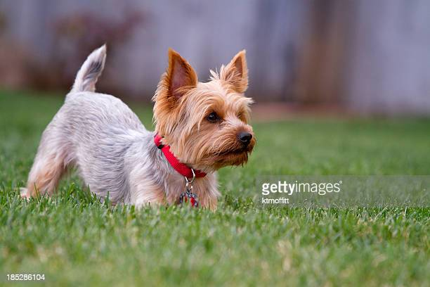 playful yorkshire terrier in yard - yorkshire terrier stock pictures, royalty-free photos & images