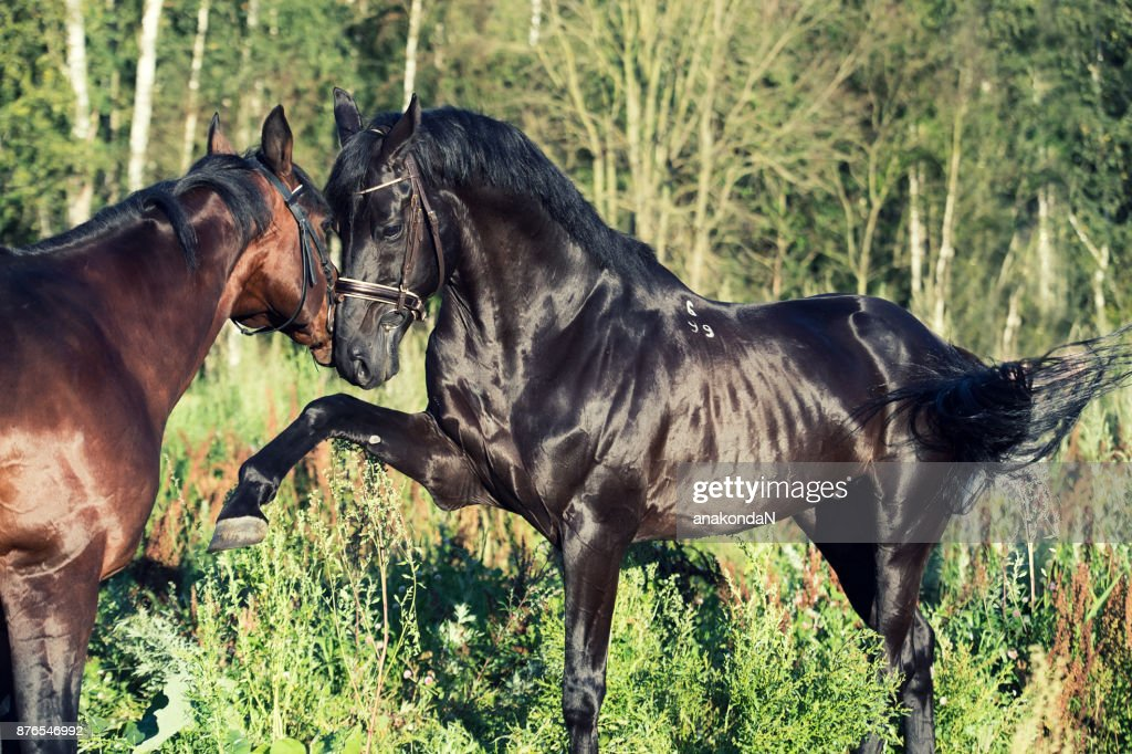 Playing  beautiful  breed stallions. summer : Stock Photo
