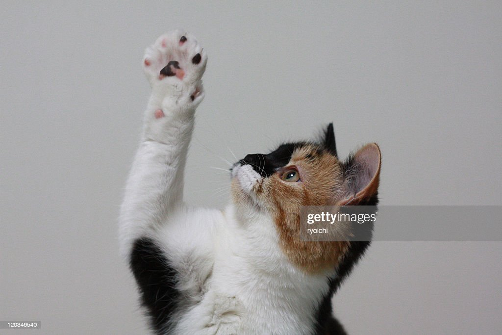 Playing cat : Stock Photo