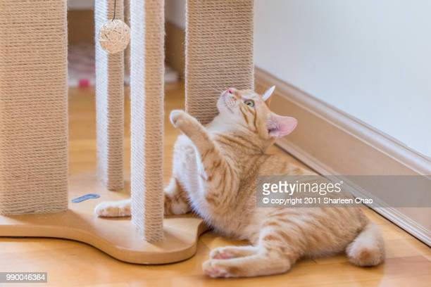 playing cat - gatto soriano foto e immagini stock