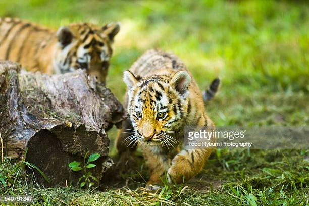 playing chase - tiger cub stock photos and pictures
