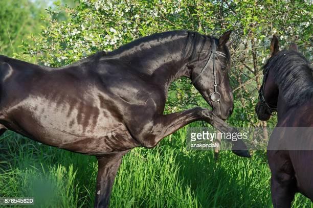 Playing couple  beautiful  breed stallion. spring