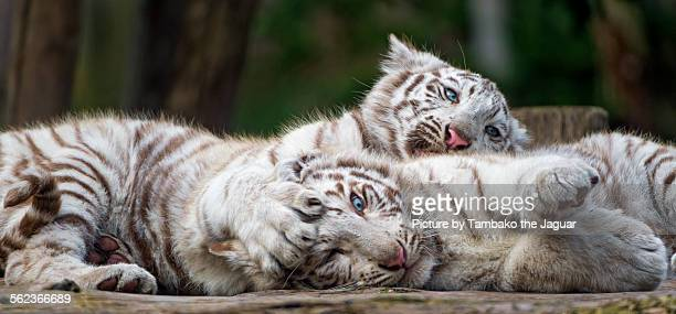 playing cubs - white tiger stock photos and pictures