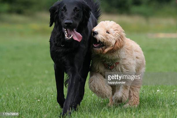 playing dogs. - two animals stock pictures, royalty-free photos & images