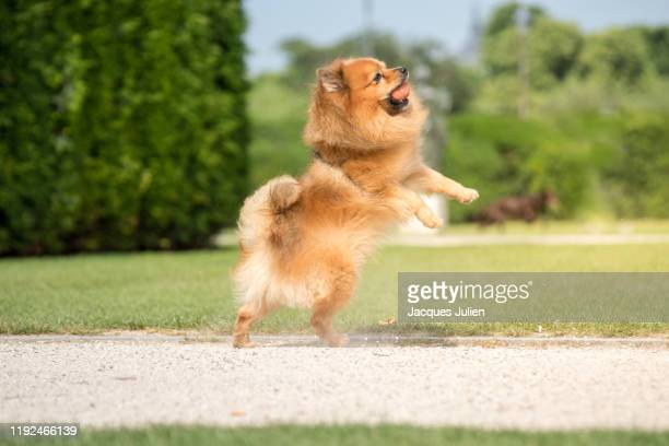 playing fetch with cute spitz dog jumping - 愛玩犬 ストックフォトと画像