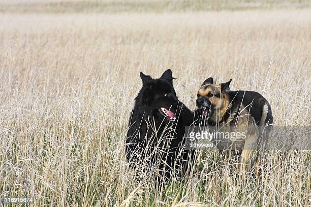 Playing German Shepherd Dogs