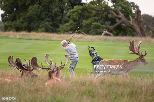 Golfen zwischen Hirsch