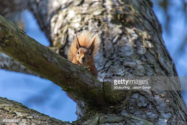 playing peek-a-boo with a red squirrel - s0ulsurfing stock pictures, royalty-free photos & images