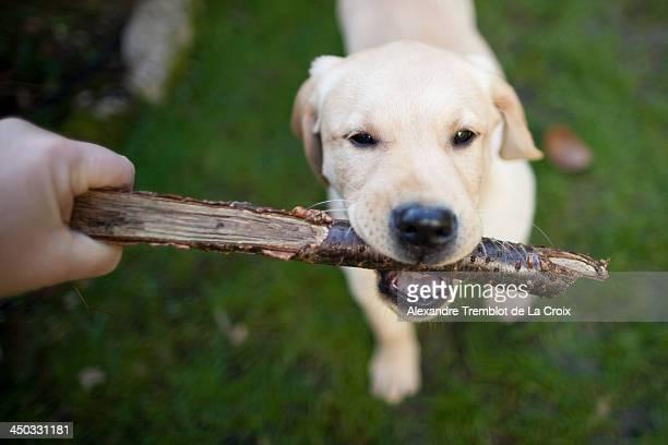 Playing puppy labrador dog