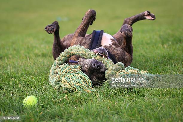playing staffordshire bull terrier - staffordshire bull terrier stock pictures, royalty-free photos & images