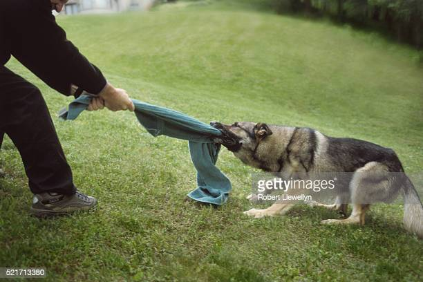 playing tug of war with dog - dogs tug of war stock pictures, royalty-free photos & images