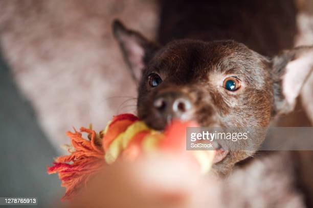 playing tug-of-war - dogs tug of war stock pictures, royalty-free photos & images