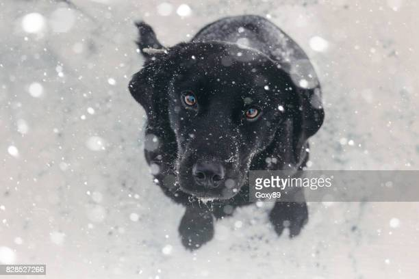 playing with the snow - black labrador stock pictures, royalty-free photos & images
