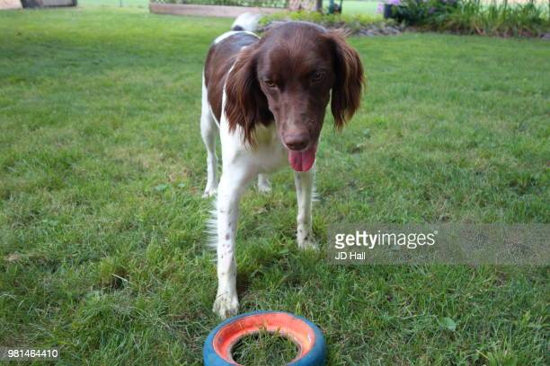 please throw it - english springer spaniel stock pictures, royalty-free photos & images