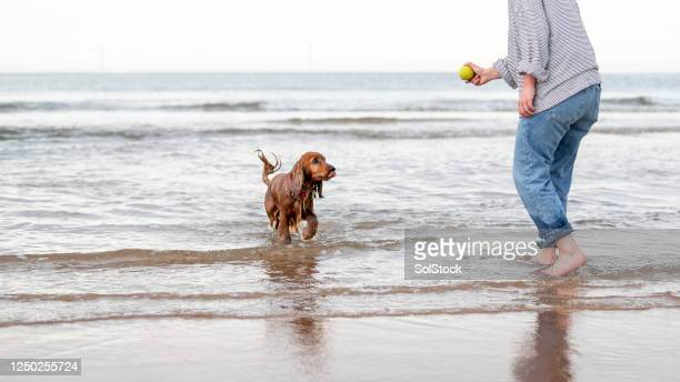 please throw my ball again - canine stock pictures, royalty-free photos & images
