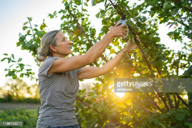 pleased woman cutting tree branches in her garden at sunset - apricot tree stock pictures, royalty-free photos & images