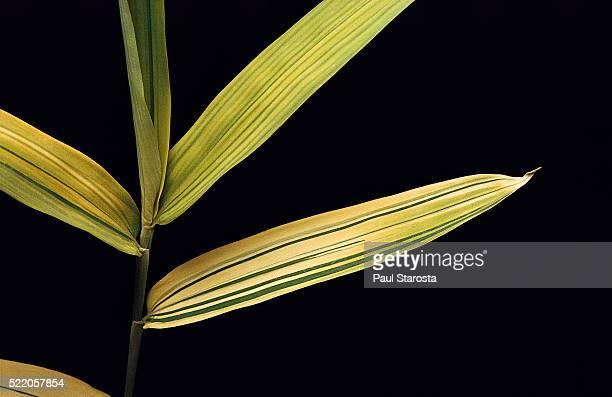 pleioblastus viridistriatus 'auricoma' (dwarf greenstripe bamboo) - leaf - folha de bambu - fotografias e filmes do acervo