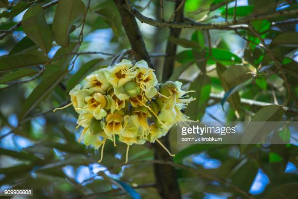 Plenty durian flower in January;Thailand