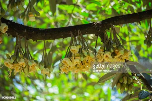 Plenty durian flower in January;Thailand