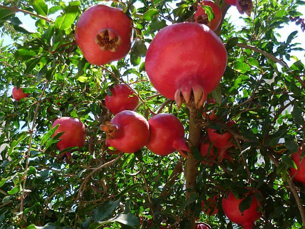 plenty of pomegranates on tree, ripe - pomegranate tree stock photos and pictures