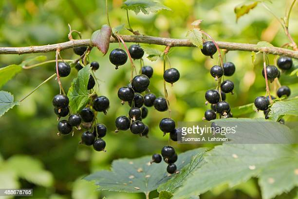 Plenty of ripe Blackcurrant berries in a shrub
