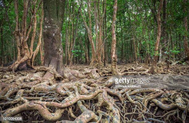 plenty root and tree in mangrove forest - mangroves stock pictures, royalty-free photos & images