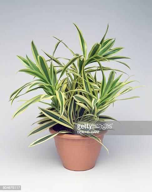 Pleomele or Song of India Asparagaceae