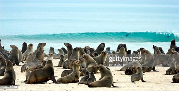 plethora of seals on the sand by the ocean - colony group of animals stock photos and pictures