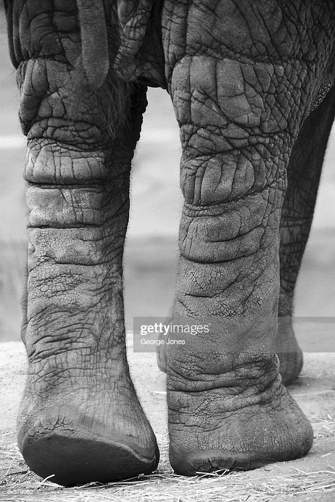 Plodding elephant legs : Stock Photo