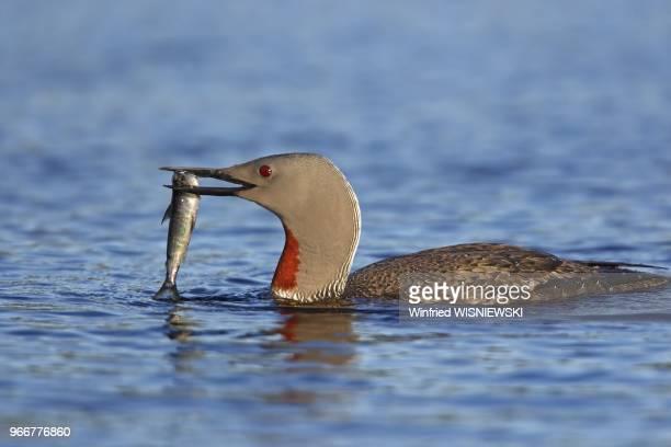 Plongeon catmarin ou Plongeon a Gorge Rouge ou Plongeon a gorge rousse