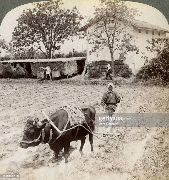 Ploughing flooded ground for rice planting north of the main road at Uji near Kyoto Japan 1904 Stereoscopic card Detail