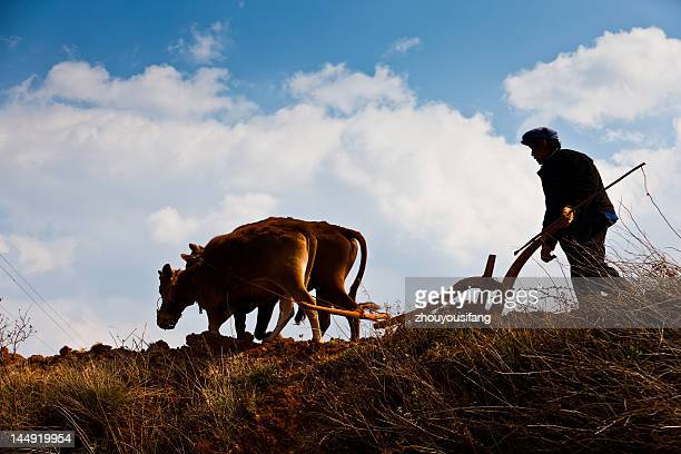 ploughing - wild cattle stock photos and pictures