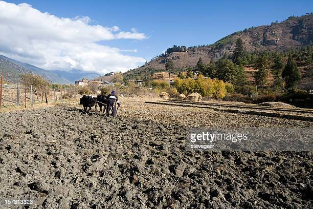 ploughing the field in bhutan - paro stock photos and pictures
