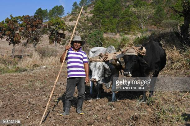 Ploughman Carlos Acosta works in a field with a yoke of oxen at the village of San Jose de Soroguara 20 kilometres north of Tegucigalpa on April 16...
