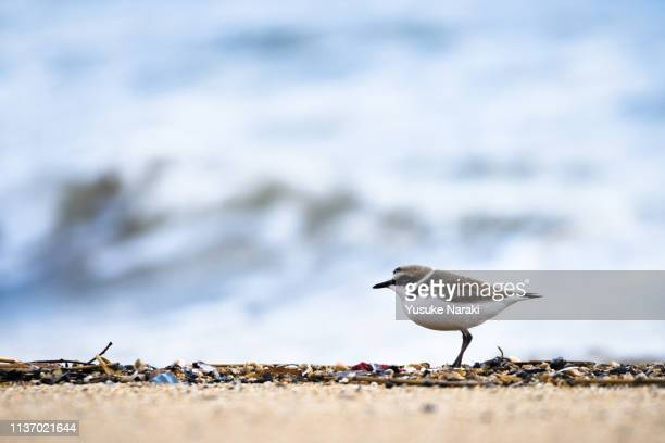 plover on beach - kentish plover stock pictures, royalty-free photos & images