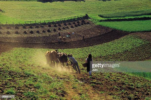 Plow with oxen Peasants working with plows with oxen in the fields of the Ancares mountains Lugo province