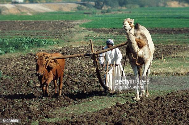 Plowing a field by ox and camel Nile Valley Egypt