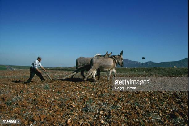 Plowing Field With Mules