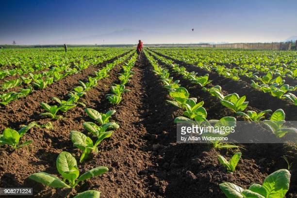 plowing tobacco field - 耕す ストックフォトと画像