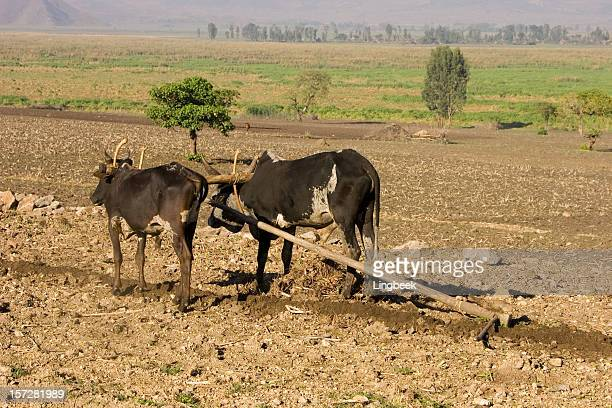 plowing with oxes - wild cattle stock photos and pictures