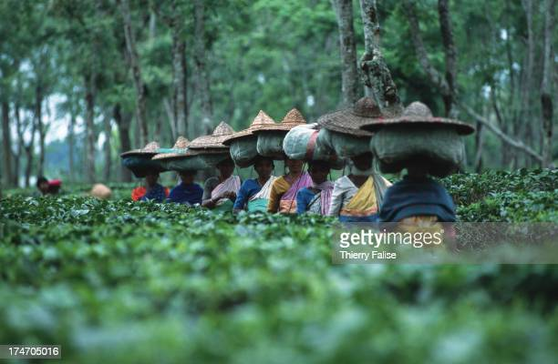 Pluckers returning from the plantation with their load of tea leaves