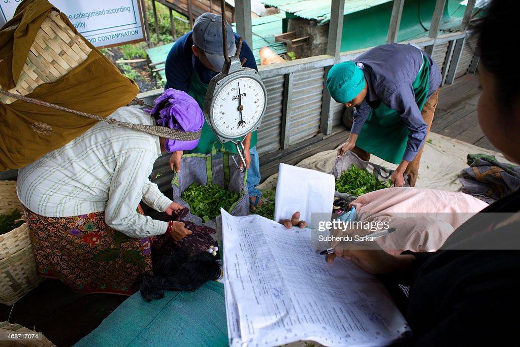 Makaibari Tea Estates : News Photo