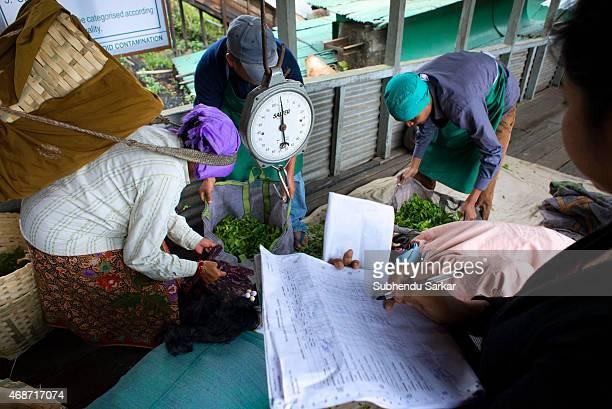 MAKAIBARI DARJEELING INDIA Pluckers weigh tea leaves at Makaibari tea factory Set up in 1859 off Kurseong in the Darjeeling hills the Makaibari...