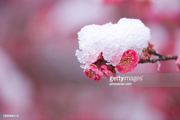 Plum and snow