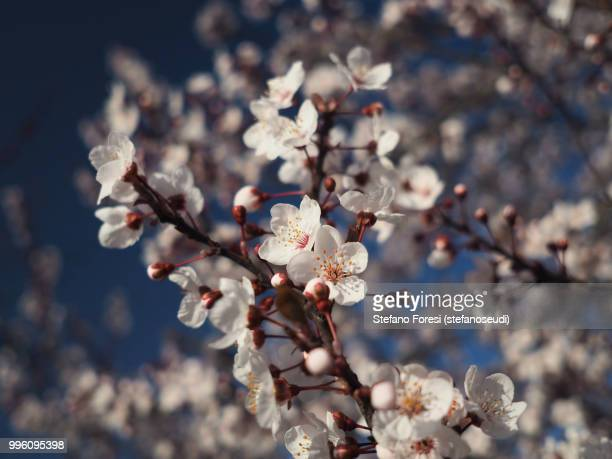 plum blooming 1 - foresi stock pictures, royalty-free photos & images