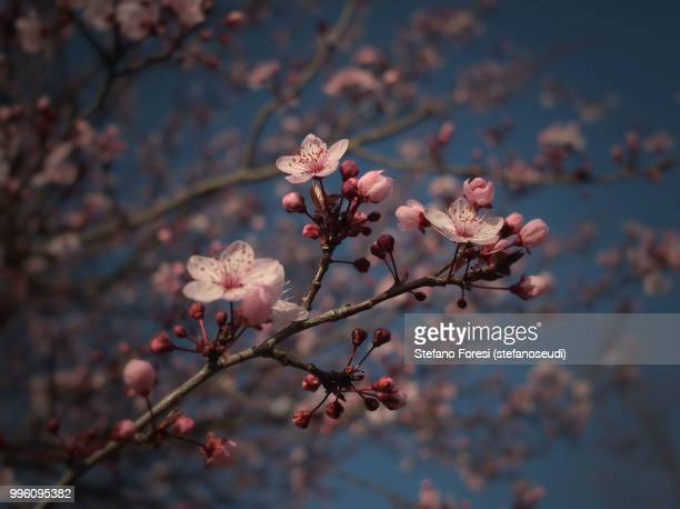 plum blooming 3 - foresi stock pictures, royalty-free photos & images