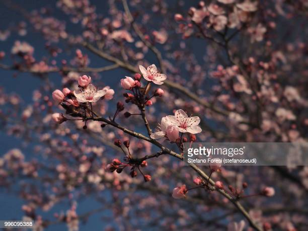 plum blooming 4 - foresi stock pictures, royalty-free photos & images
