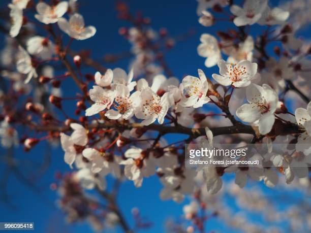 plum blooming 5 - foresi stock pictures, royalty-free photos & images
