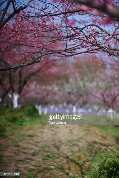 Plum blossom in spring