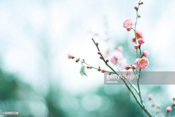 Plum blossom in winter air